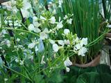 ダイコンの花2012.05.05