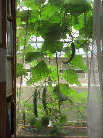 緑のカーテン2015.06.17