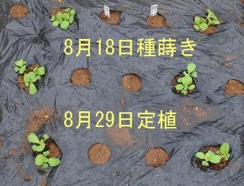 白菜定植2018.08.29