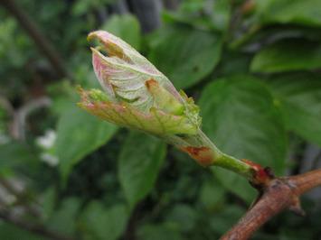 ブドウの新芽2015.04.07