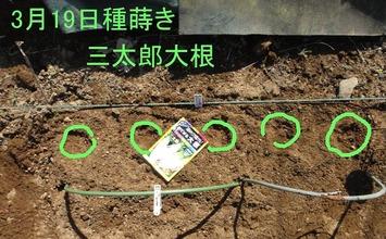 三太郎大根2020.03.19