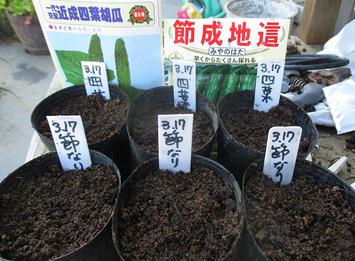 キュウリ種蒔き2016.03.17