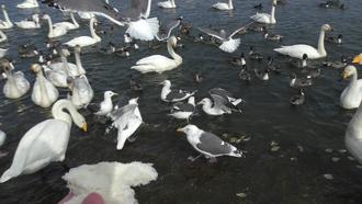 白鳥012