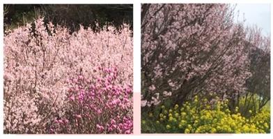梅の花、優待券廃止でS安やでー!