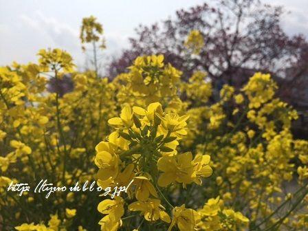 春休みは愛媛で ~その2.赤坂泉公園(砥部)に陽光桜を見に行ったわよ♪