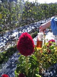 山辺の道ケイトノ花