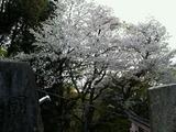 伏見稲荷桜
