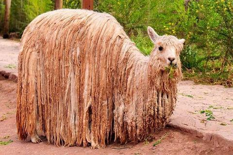 【動物】アルパカは放っておくと大変なことになります
