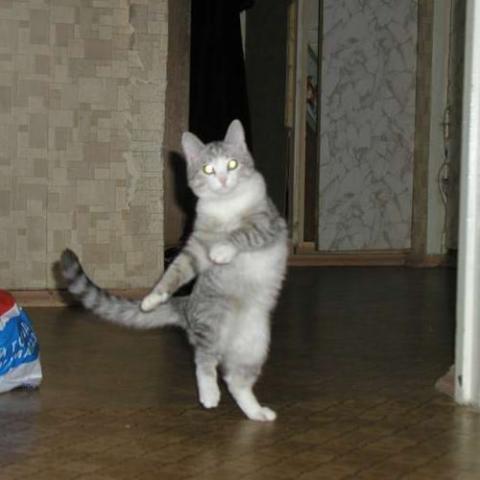 【動物】猫の威嚇のポーズ