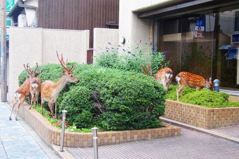 【日常】銀行の植え込みを食す奈良のシカ。怖いもの知らず