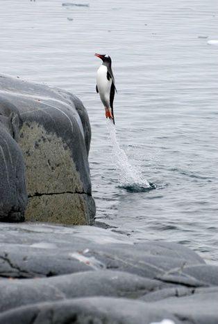 【動物】海から飛び出てくるペンギン