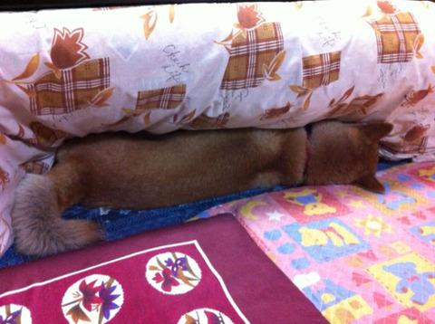 帰宅したら柴犬がコタツ側面にめり込んでいました