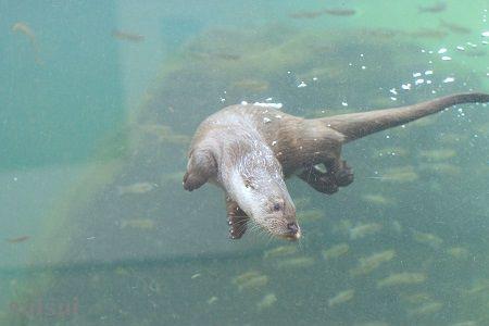aquamarinefukushima eurasian river otter 7