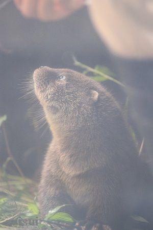 aquamarinefukushima otter child 3