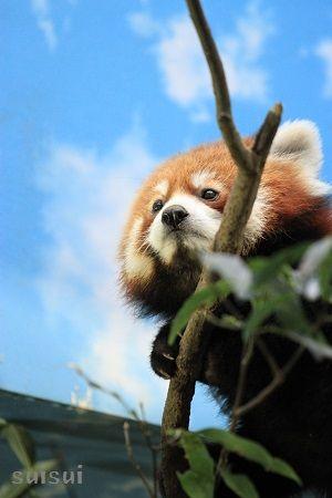 nasu animal kingdom lesser panda