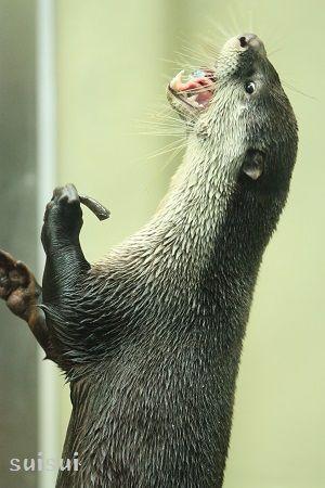 sendai umino-mori aquarium african clawless otter 4
