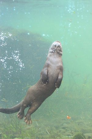 aquamarinefukushima eurasian river otter 8