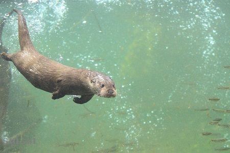 aquamarinefukushima eurasian river otter 6