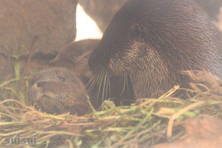 aquamarinefukushima otter baby 3