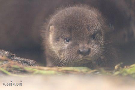 aquamarinefukushima otter baby 8