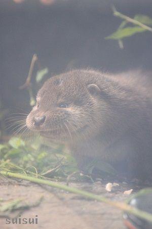 aquamarinefukushima otter child 5