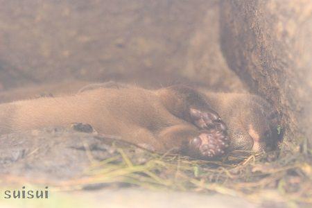 aquamarinefukushima otter baby 1