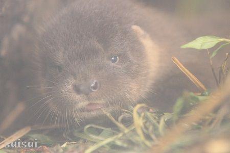 aquamarinefukushima otter baby 4