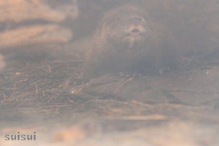 aquamarinefukushima otter baby a
