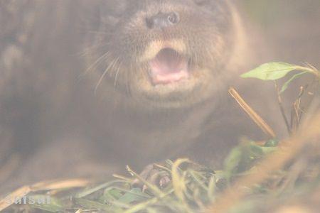 aquamarinefukushima otter baby 5
