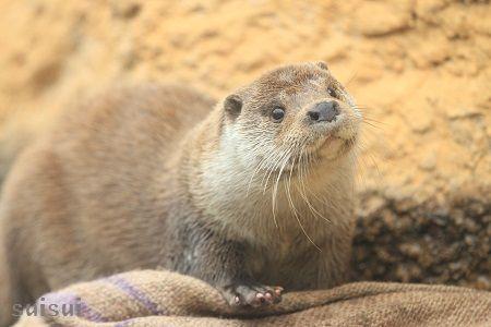 nasu animal kingdom eurasian river otter 1