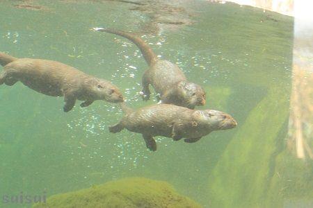 aquamarinefukushima eurasian river otter 5