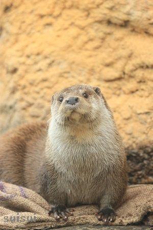 nasu animal kingdom eurasian river otter 3
