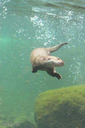 aquamarinefukushima eurasian river otter 2