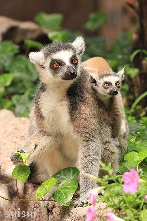 nasu animal kingdom ring tailed lemur