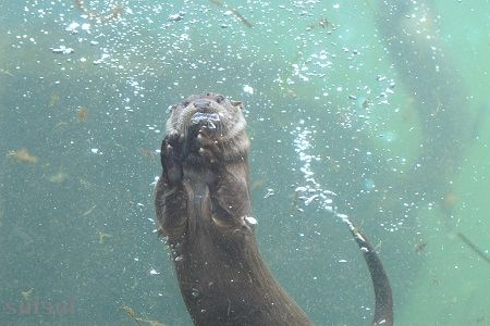 aquamarinefukushima eurasian river otter 10