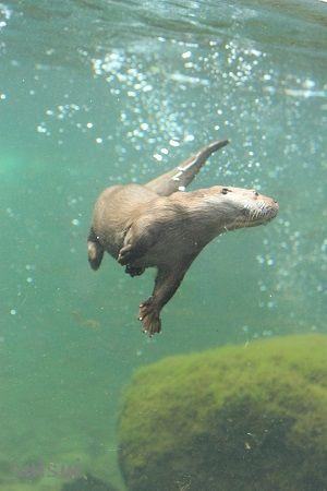 aquamarinefukushima eurasian river otter 3