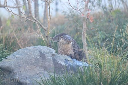 aquamarinefukushima eurasian river otter 11