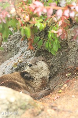 morioka zoological park canadian otter 2