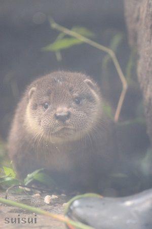aquamarinefukushima otter child 10