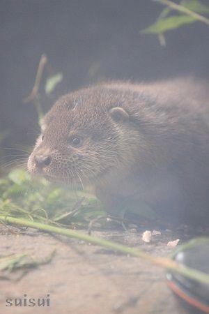 aquamarinefukushima otter child 7