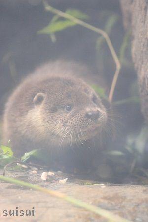 aquamarinefukushima otter child 11