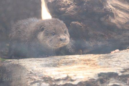 aquamarinefukushima otter child 12