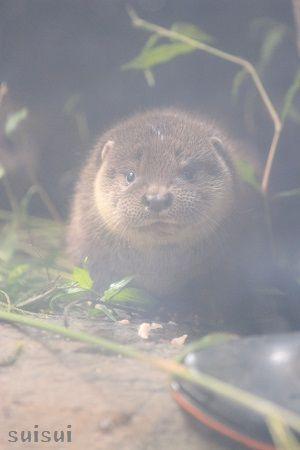 aquamarinefukushima otter child 1