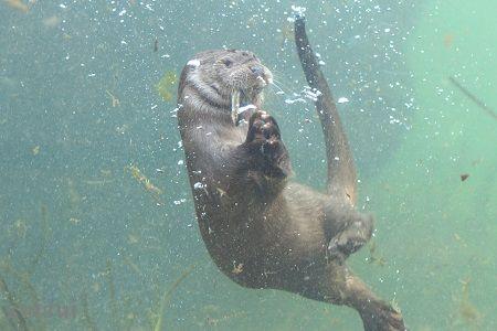 aquamarinefukushima eurasian river otter 9
