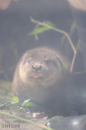 aquamarinefukushima otter child 2