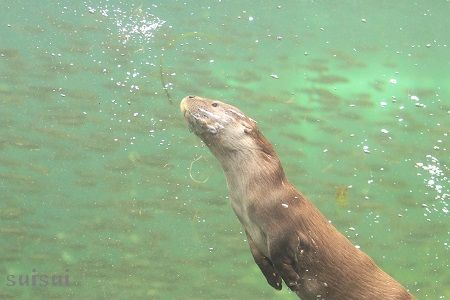 aquamarinefukushima eurasian river otter 4