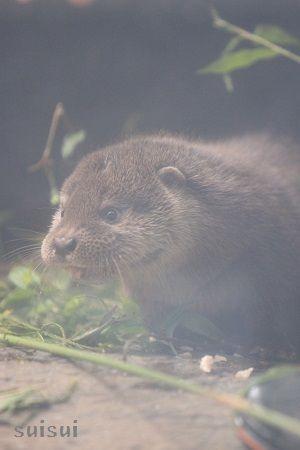 aquamarinefukushima otter child 6
