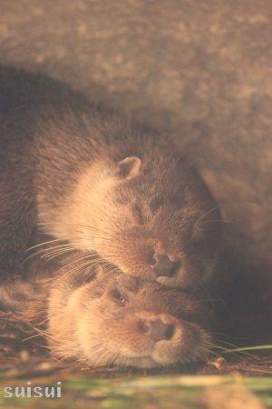 aquamarinefukushima eurasian river otter 1