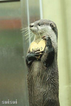 sendai umino-mori aquarium african clawless otter 1