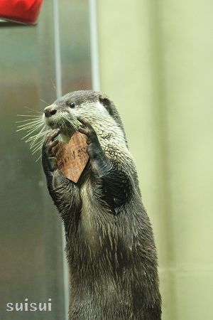 sendai umino-mori aquarium african clawless otter 3